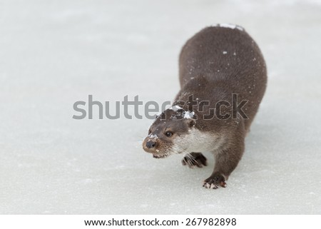 European otter in winter on a frozen lake / European otter
