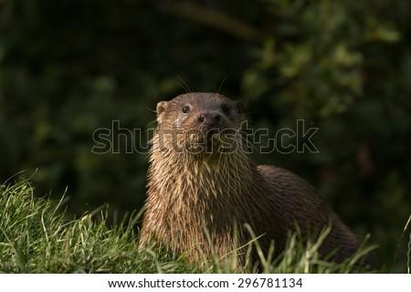 European otter. Lutra lutra - stock photo