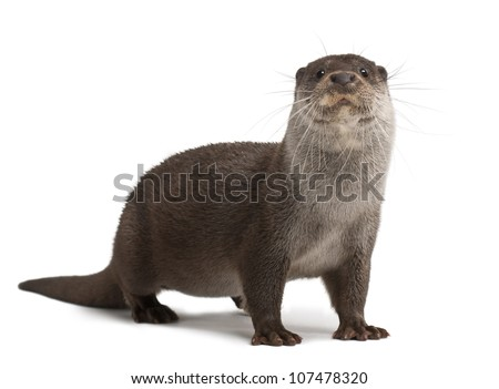 European Otter, Lutra lutra, 6 years old, portrait standing against white background - stock photo