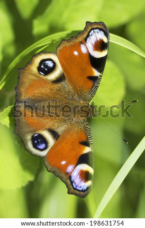 European Peacock butterfly in natural habitat / Inachis io - stock photo