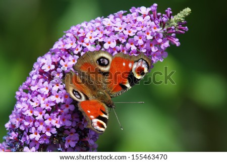 European Peacock (Inachis io) sitting on the blossom of a butterfly bush. - stock photo
