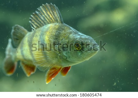European perch - stock photo