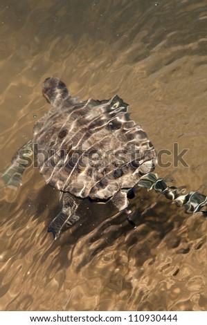 European Pond Terrapin (Emis orbicularis) turtle swimming in a pond on Crete island, Greece - stock photo