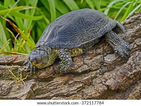 European Pond Turtle (Emys orbicularis) - stock photo