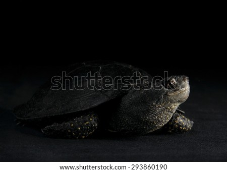 European pond turtle, South Ural - stock photo