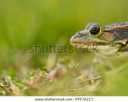 European pool frog (Pelophylax lessonae) head side view with shallow depth