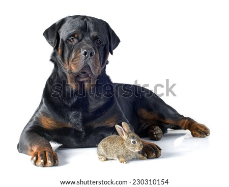 European rabbit and rottweiler in front of white background