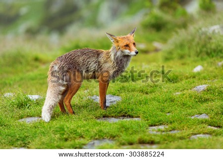 European red fox at the mountain - stock photo