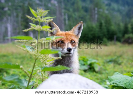 European Red Fox in the nature