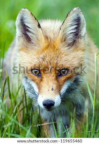European Red Fox portrait (Vulpes vulpes) - stock photo