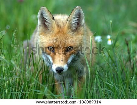 European red fox - Vulpes vulpes - stock photo