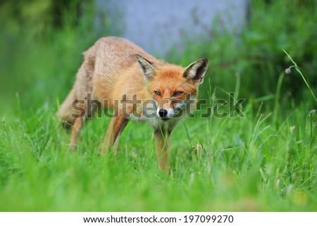 European Red Fox (Vulpes vulpes) Vixen amongst the grass. Grass stalk curls cutely over nose! - stock photo