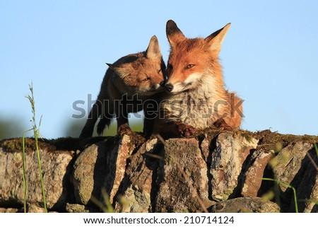 European Red Fox (Vulpes vulpes) Vixen and cub enjoying early morning sunlight on the wall. - stock photo
