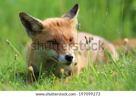 European Red Fox (Vulpes vulpes) Vixen relaxing amongst the grass.