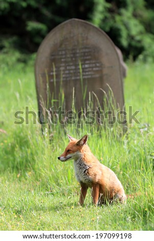 European Red Fox (Vulpes vulpes) Vixen sat amongst the grass at a cemetery. Grave in background - stock photo