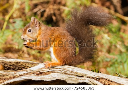 European Red Squirrel (sciurus vulgaris) In beautiful natural setting, Brownsea Island, Poole, UK