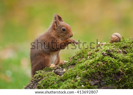 European red squirrel (Sciurus vulgaris) on the mossy stump and eating nuts