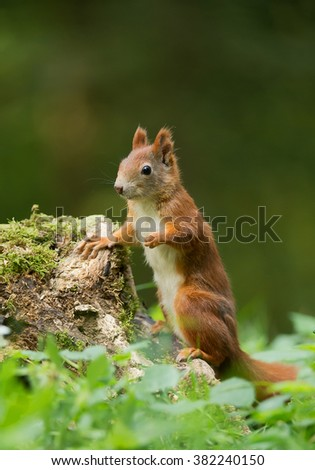 European red squirrel standing close to stump, clean green background, Czech republic, Europe