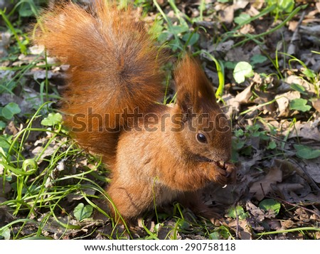 European Red Squirrel with nuts in spring - stock photo