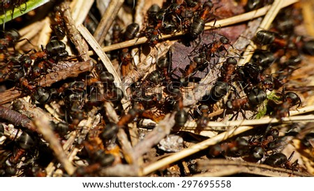 European red wood ant (Formica rufa) on wood - stock photo