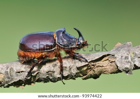 European rhinoceros beetle (Oryctes nasicornis) - stock photo