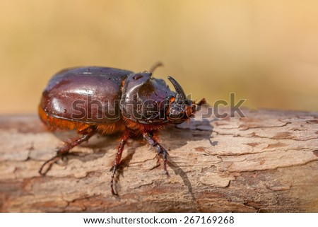 European Rhinoceros Beetle (Oryctes nasicornis) in Natural Habitat in Italy - stock photo