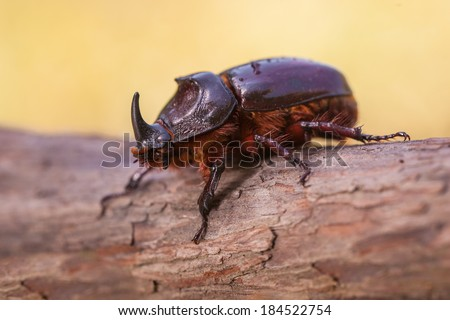 European Rhinoceros Beetle (Oryctes nasicornis) With Beautiful Background - stock photo