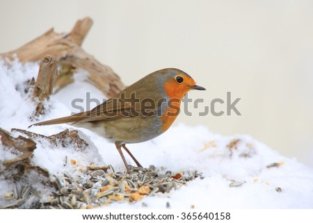 European robin at the feeding station (Erithacus rubecula)