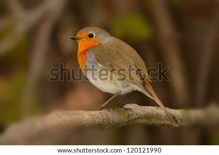 European Robin (Erithacus rubecula) in a shrub - stock photo