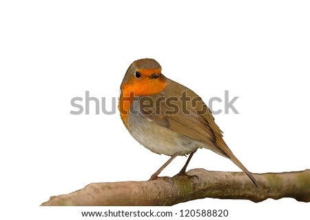 European Robin (Erithacus rubecula) in a shrub looking in camera isolated on white - stock photo