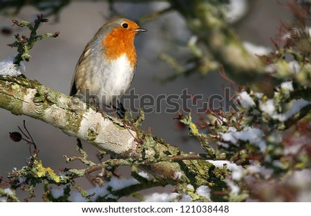 European Robin (Erithacus rubecula) in Winter snow on a pine tree. Taken at Forfar Loch, Angus, Scotland.