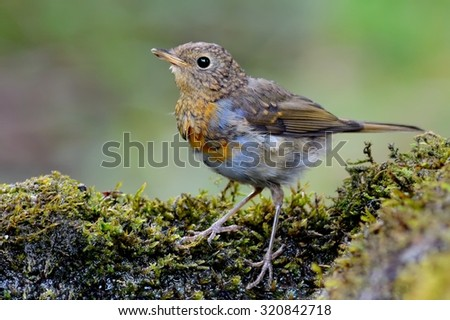 European robin (Erithacus rubecula) near water - stock photo