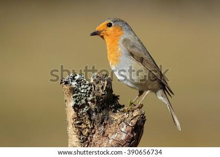 European Robin (Erithacus rubecula) on its perch - stock photo