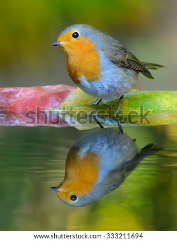 European robin (Erithacus rubecula) on the waterhole in the forest - stock photo