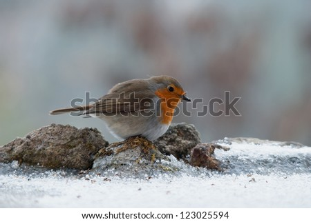 European Robin looking for food on the snowy ground