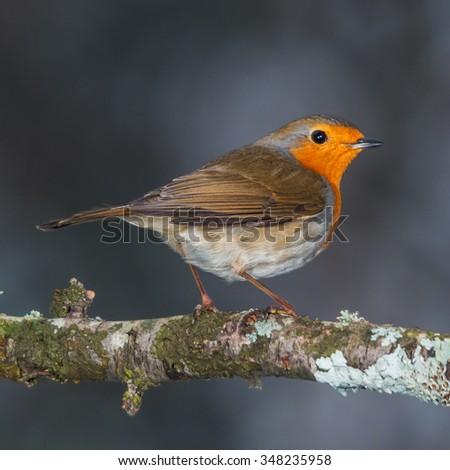 European robin on a small branch - stock photo