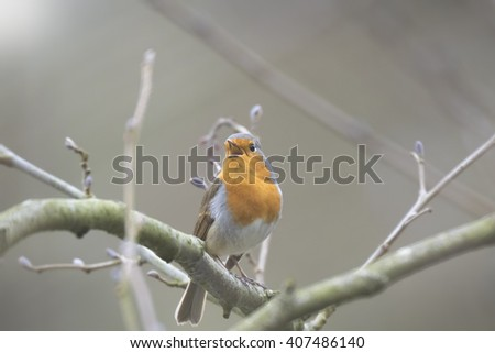 European robin redbreast (Erithacus rubecula) bird singing and display during Spring season in search for a mate. - stock photo