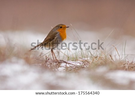 European robin standing on the ground, blurred background, horizontal / Erithacus rubecula /