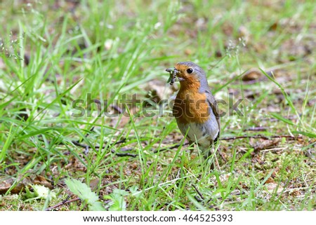 European robin with food