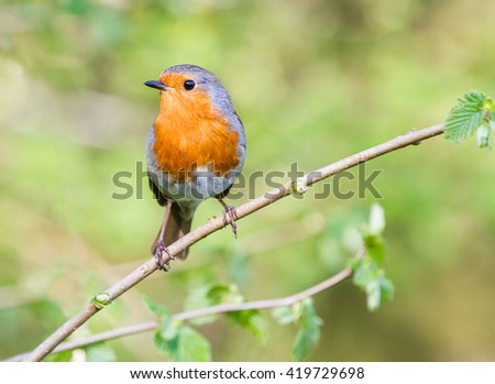 European robin with red breast.  Sat on a branch with natural green leaves as the background setting.