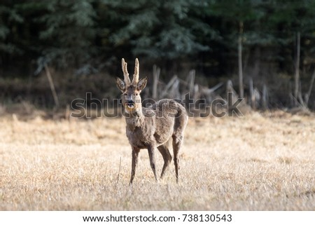 European roe dear buck with large antlers standing on a yellow field in springtime in Sweden
