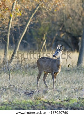 European roe deer - stock photo