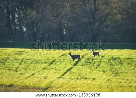 European roe deer - Capreolus capreolus - stock photo