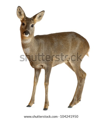 Female Deer Stock Images Royalty Free Images Amp Vectors