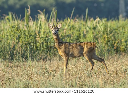 European roebuck - stock photo