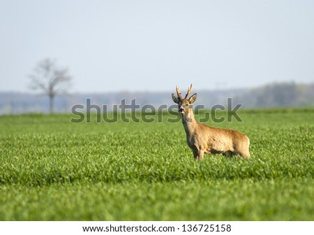 European roebuck - Capreolus capreolus - stock photo