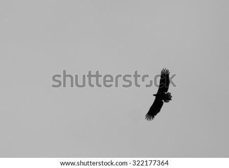 "European Sea Eagle in the ""Müritz National Park"" (Germany) - stock photo"