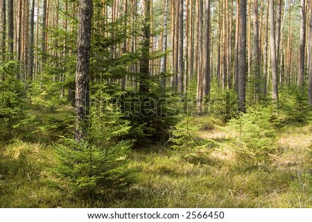 European semi-dry coniferous forest, springtime,middle europe, poland