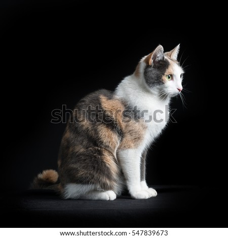 European Short-hair cat, multicolored, sitting in black background