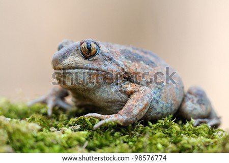 european spadefoot toad (Pelobates fuscus insubricus) - stock photo